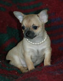 Cachorrinhos 11 da chihuahua Fotos de Stock Royalty Free