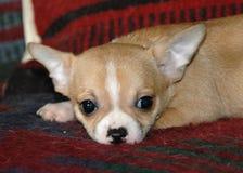 Cachorrinhos 18 da chihuahua Imagem de Stock Royalty Free