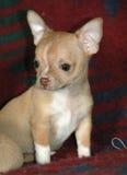 Cachorrinhos 23 da chihuahua Imagem de Stock Royalty Free