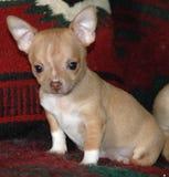 Cachorrinhos 24 da chihuahua Imagem de Stock Royalty Free