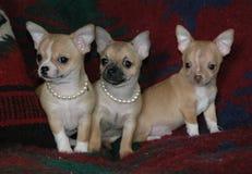 Cachorrinhos 25 da chihuahua Fotografia de Stock