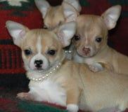 Cachorrinhos 26 da chihuahua Foto de Stock Royalty Free