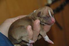 Cachorrinhos 36 da chihuahua Imagem de Stock Royalty Free