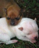 Cachorrinhos 39 da chihuahua Foto de Stock