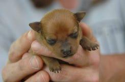 Cachorrinhos 43 da chihuahua Fotografia de Stock Royalty Free