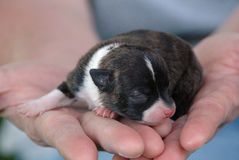Cachorrinhos 47 da chihuahua Imagem de Stock Royalty Free
