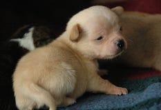 Cachorrinhos 56 da chihuahua Imagem de Stock