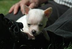 Cachorrinhos 73 da chihuahua Foto de Stock