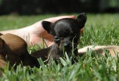 Cachorrinhos 78 da chihuahua Fotos de Stock