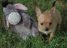 Cachorrinhos 80 da chihuahua Foto de Stock