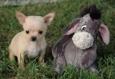 Cachorrinhos 83 da chihuahua Imagem de Stock Royalty Free