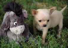 Cachorrinhos 87 da chihuahua Imagem de Stock Royalty Free