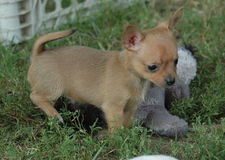 Cachorrinhos 94 da chihuahua Imagens de Stock Royalty Free