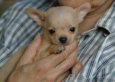 Cachorrinhos da chihuahua Imagem de Stock