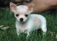 Cachorrinhos 108 da chihuahua Imagens de Stock Royalty Free