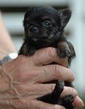 Cachorrinhos 156 da chihuahua Foto de Stock Royalty Free