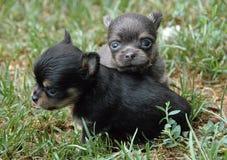 Cachorrinhos 158 da chihuahua Imagem de Stock Royalty Free