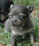 Cachorrinhos 159 da chihuahua Fotografia de Stock