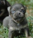 Cachorrinhos 160 da chihuahua Fotos de Stock Royalty Free