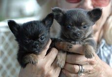Cachorrinhos 164 da chihuahua Imagens de Stock Royalty Free