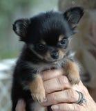 Cachorrinhos 166 da chihuahua Fotos de Stock