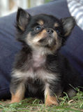 Cachorrinhos 174 da chihuahua Imagens de Stock