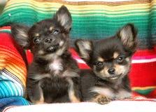 Cachorrinhos 180 da chihuahua Imagens de Stock Royalty Free