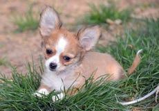 Cachorrinhos da chihuahua Foto de Stock Royalty Free