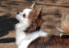 Cachorrinhos da chihuahua Fotografia de Stock