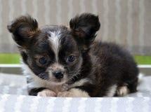 Cachorrinhos 199 da chihuahua Foto de Stock Royalty Free