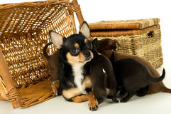 Cachorrinhos da chihuahua da mãe para cestas do fundo Imagens de Stock