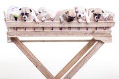 5 cachorrinhos da chihuahua mim Fotografia de Stock Royalty Free