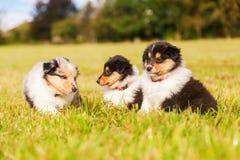 Cachorrinhos da collie imagem de stock royalty free
