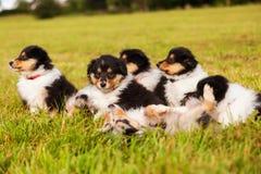 Cachorrinhos da collie Imagens de Stock Royalty Free