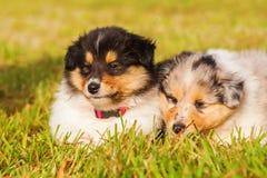 Cachorrinhos da collie Imagem de Stock