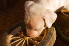 Cachorrinhos da cruz do terrier de raposa de Jack russell Fotografia de Stock Royalty Free