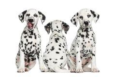 Cachorrinhos Dalmatian que sentam-se junto, Fotografia de Stock Royalty Free
