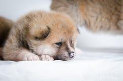 Cachorrinhos de Akita Inu fotografia de stock