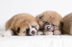Cachorrinhos de Akita Inu fotografia de stock royalty free