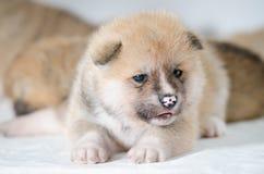 Cachorrinhos de Akita Inu imagens de stock royalty free