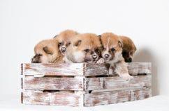 Cachorrinhos de Akita Inu imagem de stock