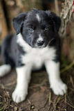 Cachorrinhos de border collie Imagem de Stock Royalty Free