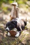 Cachorrinhos de border collie foto de stock