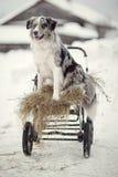 Cachorrinhos de border collie foto de stock royalty free