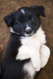 Cachorrinhos de border collie imagens de stock royalty free