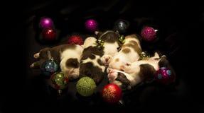 Cachorrinhos de Buldog para o Natal Fotografia de Stock Royalty Free
