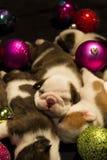 Cachorrinhos de Buldog para o Natal Foto de Stock Royalty Free