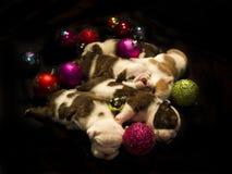Cachorrinhos de Buldog para o Natal Imagem de Stock