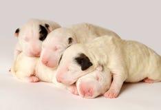 Cachorrinhos de bull terrier, 10 dias velhos, encontrando-se no lado sobre o fundo branco Fotos de Stock Royalty Free