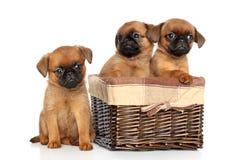 Cachorrinhos de Griffon em um fundo branco Imagens de Stock